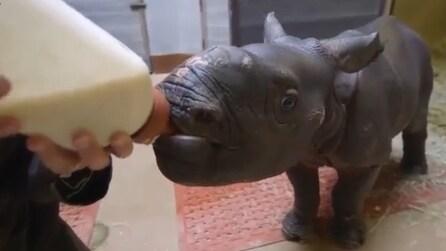 San Diego Zoo Safari Park, il piccolo rinoceronte beve dal biberon gigante