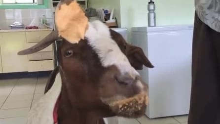 Stephie, la capra che ama il burro di arachidi: non può farne a meno!
