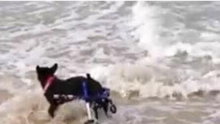 Cane disabile si diverte a rincorrere le onde in spiaggia
