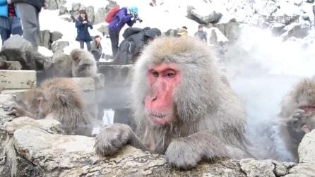 Le scimmie alle terme: la spa dei macachi giapponesi