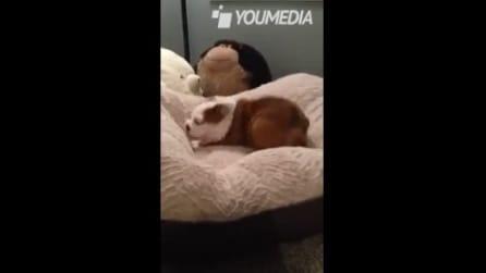 Un nuovo letto comodo per il cucciolo di bulldog, la sua reazione è tenerissima