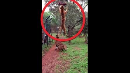Lanciano un pezzo di carne in aria, l'incredibile salto della tigre vi lascerà senza parole
