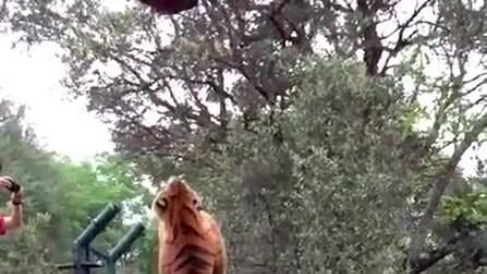 La tigre cattura al volo il pezzo di carne, l'incredibile salto in slow-motion