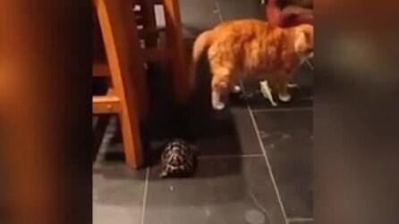 La tartaruga che vuole a tutti i costi giocare col gatto