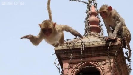 Quando vedrete cosa fanno queste scimmie non crederete ai vostri occhi