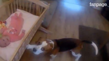 Il cane si trasforma in baby sitter e culla la piccola che non riesce a dormire