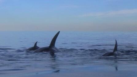Cinque orche passano sotto la sua tavola, l'emozionante incontro ravvicinato