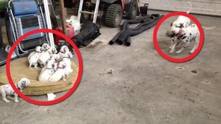 Mamma e papà dalmata giocano affettuosamente, la reazione dei loro cuccioli vi scioglierà il cuore