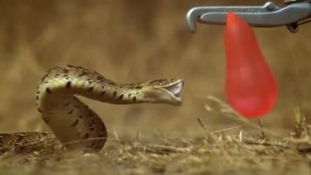 Come un serpente scoppia un palloncino d'acqua, il video in slow motion