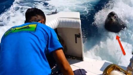 Il leone marino segue la barca e sale a bordo per mangiare il pesce