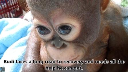 Il pianto e la sofferenza di Budi, il cucciolo di orangotango malnutrito, costretto in un pollaio