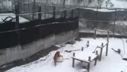 Nevica allo zoo, la tigre fa una grande palla di neve