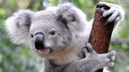 Koala cade in una buca: alcuni studenti lo salvano