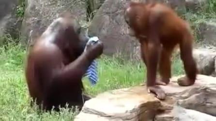 Fa caldo, l'orango si rinfresca proprio come farebbe un uomo