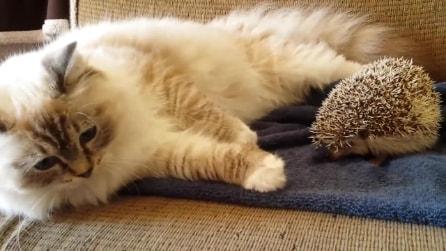 Il riccio è troppo vicino, il gatto si punge
