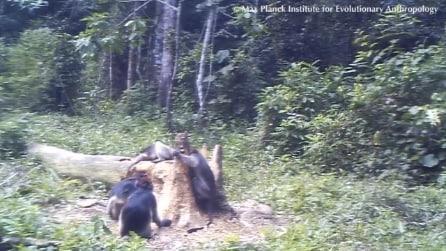 Uganda, l'impressionante scatto del gatto dorato africano a caccia delle scimmie