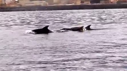 Napoli, tre delfini giocano a largo del Golfo