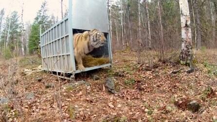 La tigre siberiana torna in libertà