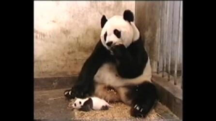 Mamma panda spaventata dallo starnuto del suo piccolo