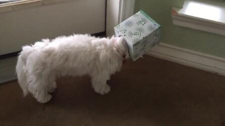 Come ci sarà finito con la testa dentro alla scatola?