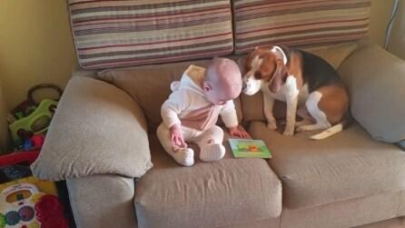 Non hanno mai insegnato al beagle a fare questo, ha imparato tutto da solo