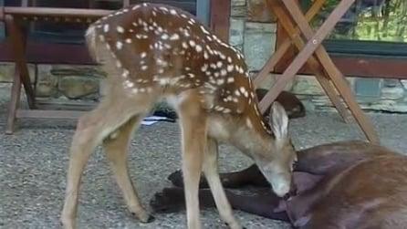 Il piccolo cervo orfano che ha trovato una mamma speciale