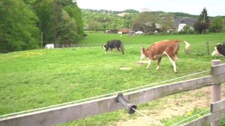 """La reazione delle mucche quando vengono """"liberate"""" dopo un lungo inverno nel recinto"""