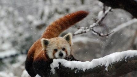 Panda rossi giocano nella neve dello zoo di Cincinnati