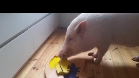 I maialini sono degli animali intelligenti, ecco il video che lo prova
