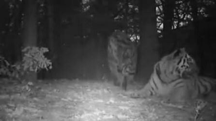 Cina, l'inedito filmato di una famiglia di tigri siberiane