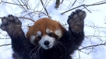 Cincinnati Zoo, il divertimento dei panda rossi sulla neve