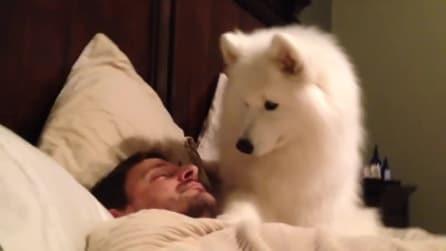 Questo tenero cane prova a svegliare il padrone: ci riuscirà?