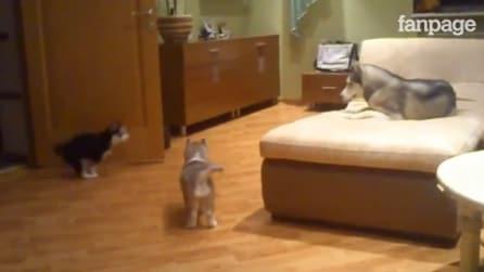 L'husky con i suoi cuccioli: essere mamma significa anche questo