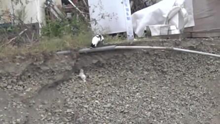 Mamma gatto salva il suo cucciolo