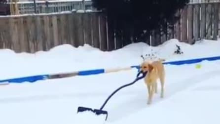 Il cane mostra come spalare la neve nel viale