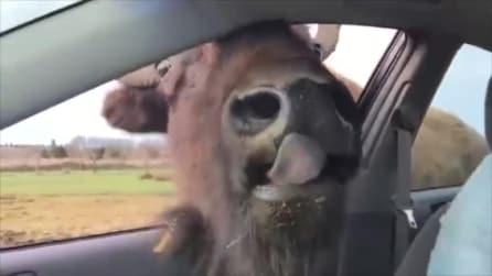 Il bisonte infila la testa in auto: cosa vuole dalle due ragazze?