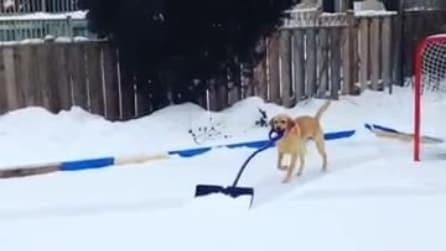 Il cane tuttofare: spala anche la neve