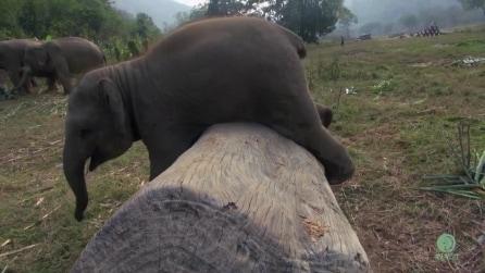 L'elefantino vuole riuscirsi a tutti i costi: la sua tenacia sarà premiata?