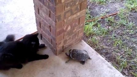 Il divertente gioco di un gatto e una tartaruga
