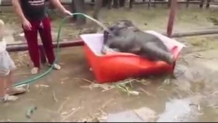 Il baby elefante a cui piace fare il bagno nella piccola piscina