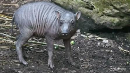 Zoo di Chester, è nato il maialino babirussa Matano, fra i più rari al mondo