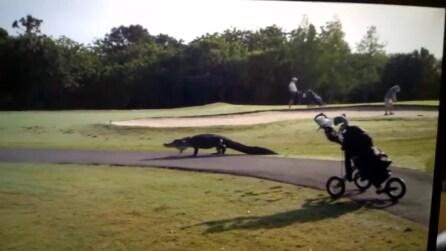 Florida, un coccodrillo attraversa un campo da golf