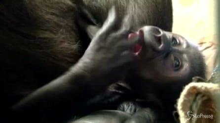 Gorilla mette i primi dentini e non si toglie le dita dalla bocca