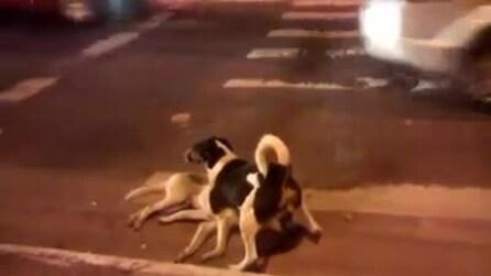 Cane veglia sull'amico appena investito