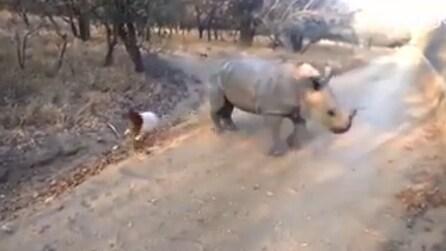 """Rinoceronte gioca con un pecora: la """"strana coppia"""" dà spettacolo"""