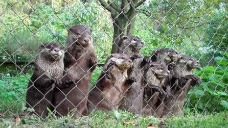Arriva il custode e le lontre reagiscono così