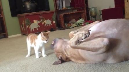 """Un gatto e un pit bull giocano insieme: indovinate chi è il più """"aggressivo"""""""