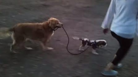 Il cane più grande porta al guinzaglio il più piccolo