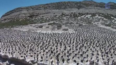 La colonia gigante di pinguini vista dall'alto: spettacolo in Patagonia