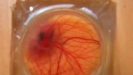 Ecco il guscio d'uovo artificiale per osservare lo sviluppo embrionale